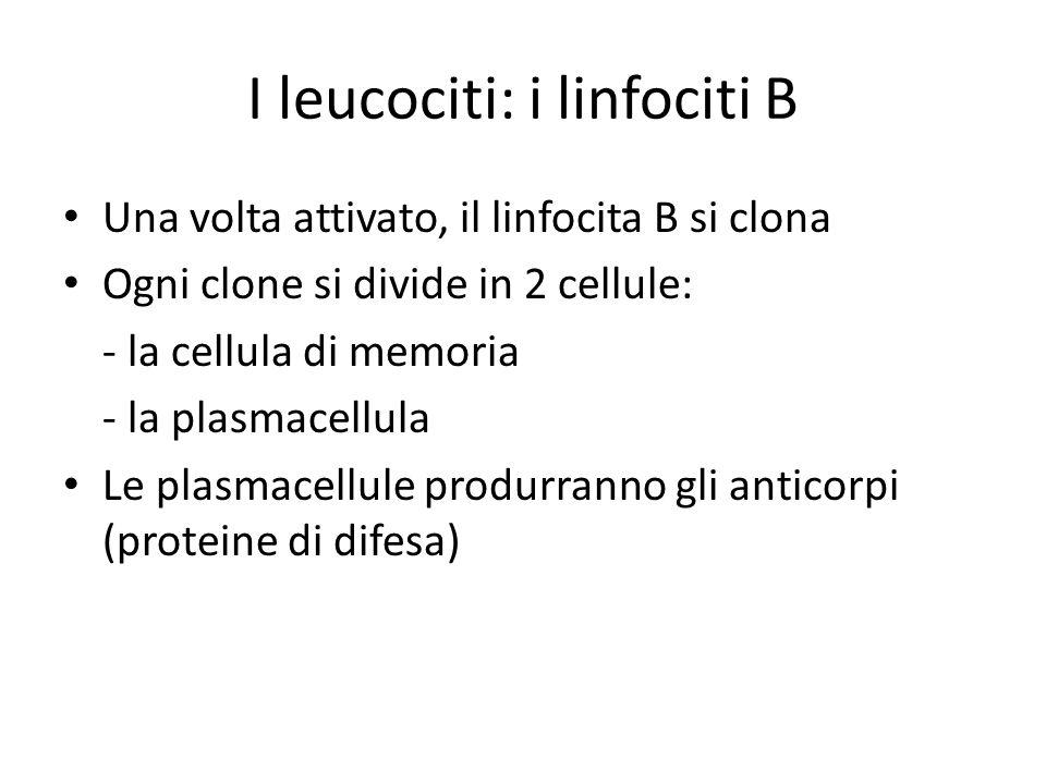 I leucociti: i linfociti B