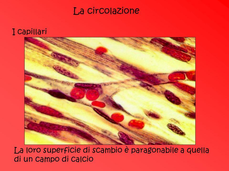 La circolazione I capillari
