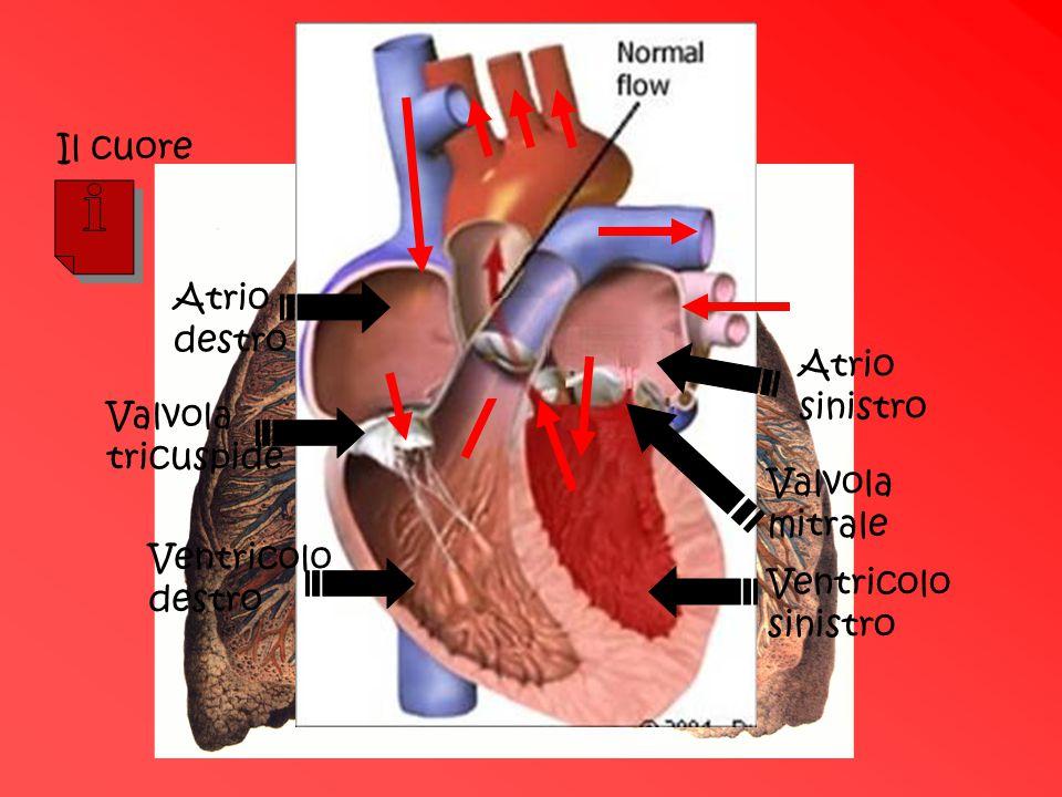 La circolazione Il cuore Atrio destro Atrio sinistro