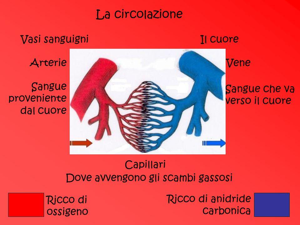 La circolazione Vasi sanguigni Il cuore Arterie Vene