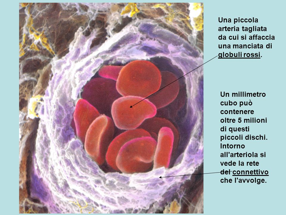 Una piccola arteria tagliata da cui si affaccia una manciata di globuli rossi.
