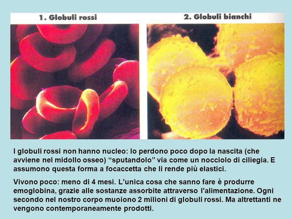 I globuli rossi non hanno nucleo: lo perdono poco dopo la nascita (che avviene nel midollo osseo) sputandolo via come un nocciolo di ciliegia. E assumono questa forma a focaccetta che li rende più elastici.