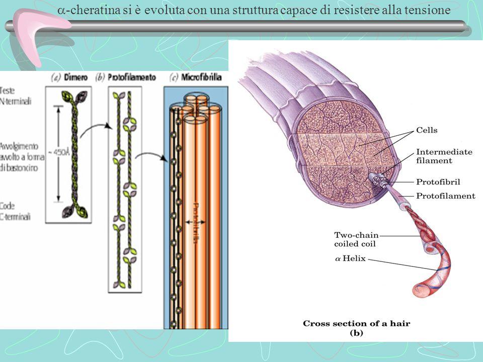 a-cheratina si è evoluta con una struttura capace di resistere alla tensione