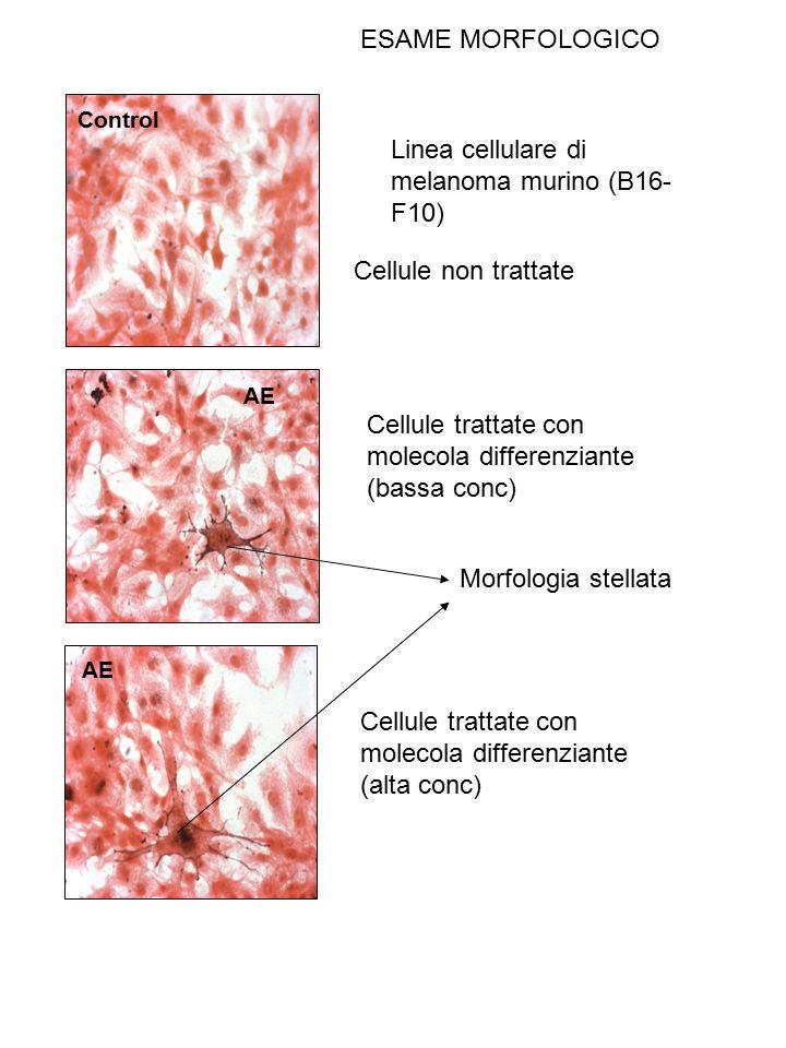 Linea cellulare di melanoma murino (B16-F10)
