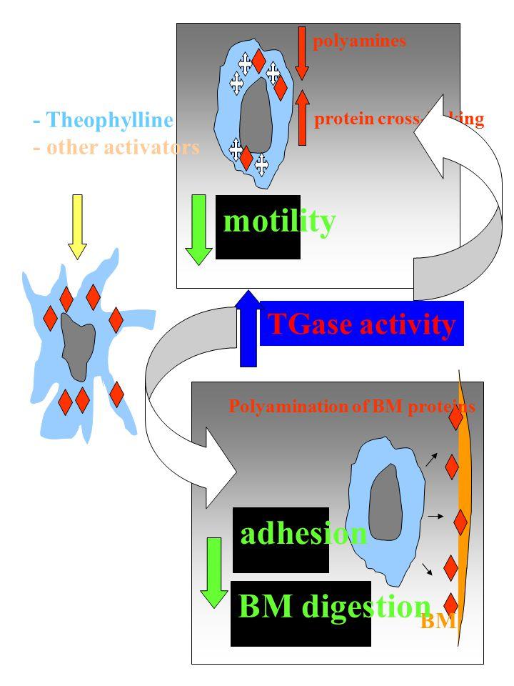 motility adhesion BM digestion TGase activity - Theophylline