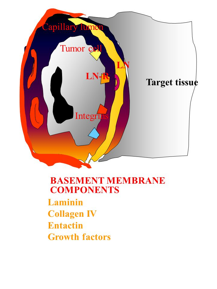 Capillary lumen Tumor cell. LN. LN-R. Target tissue. Integrins. BASEMENT MEMBRANE. COMPONENTS.