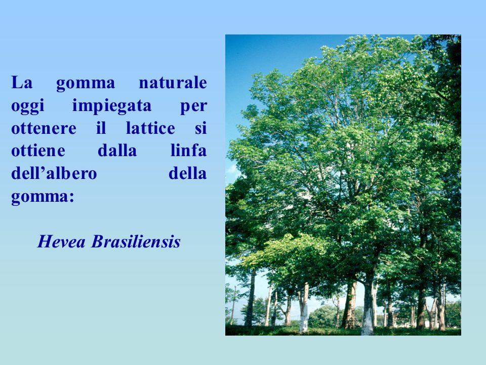 La gomma naturale oggi impiegata per ottenere il lattice si ottiene dalla linfa dell'albero della gomma: