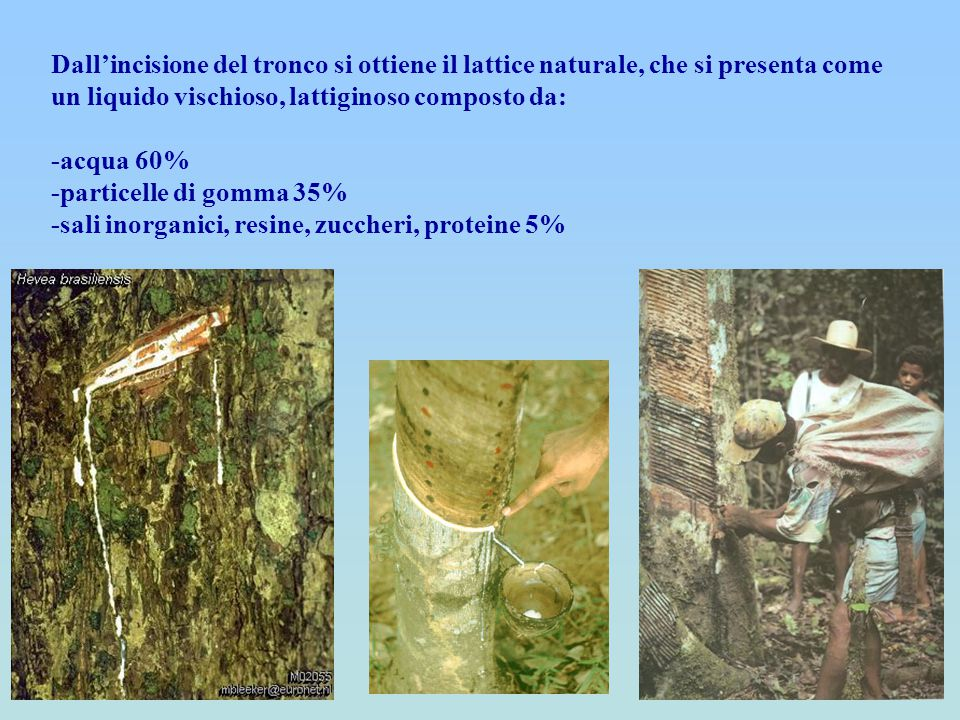 Dall'incisione del tronco si ottiene il lattice naturale, che si presenta come un liquido vischioso, lattiginoso composto da: