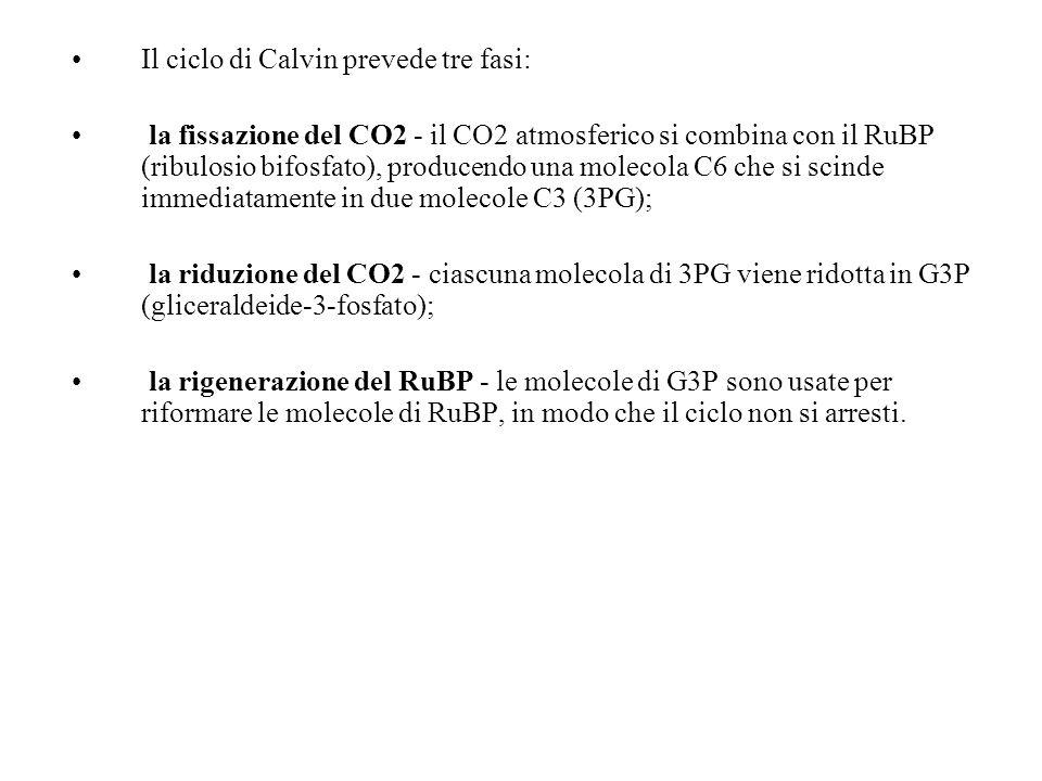 Il ciclo di Calvin prevede tre fasi: