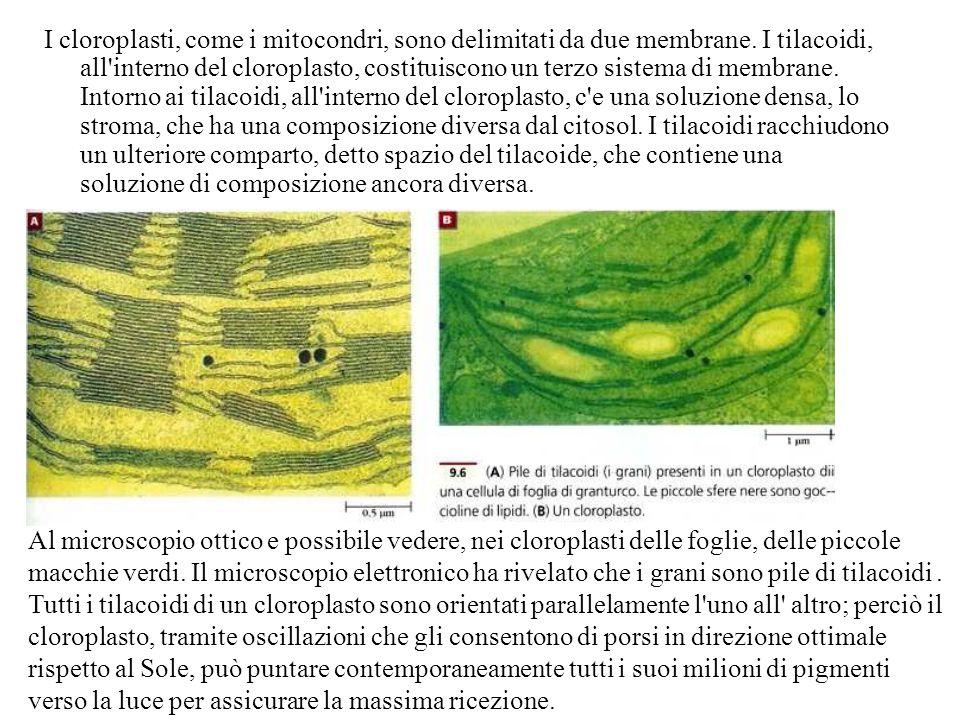 I cloroplasti, come i mitocondri, sono delimitati da due membrane
