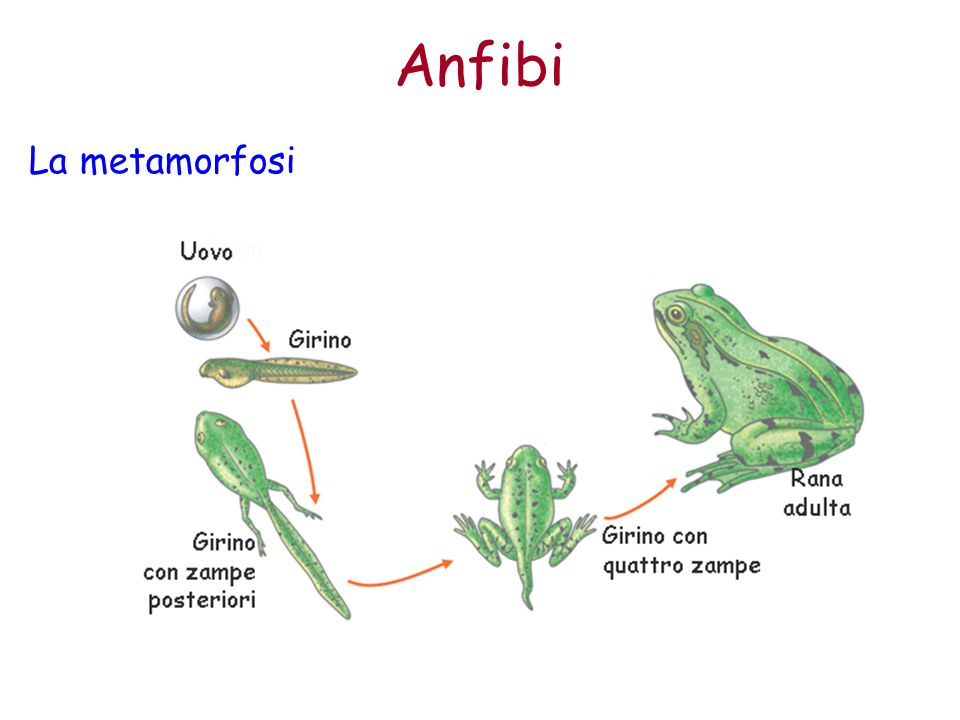 Anfibi La metamorfosi