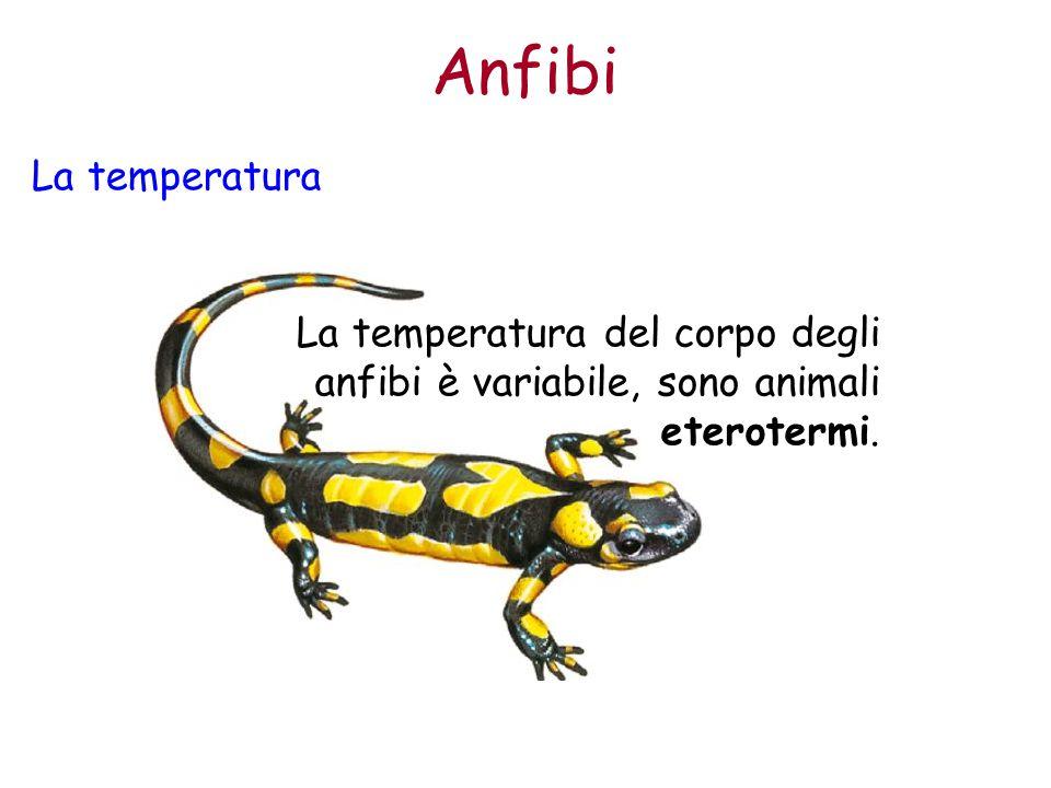 Anfibi La temperatura La temperatura del corpo degli anfibi è variabile, sono animali eterotermi.