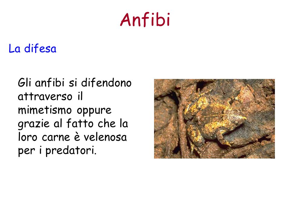 Anfibi La difesa.