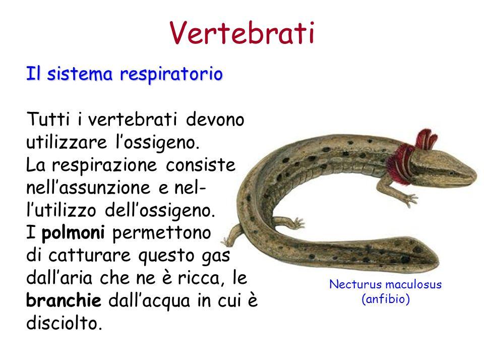 Necturus maculosus (anfibio)