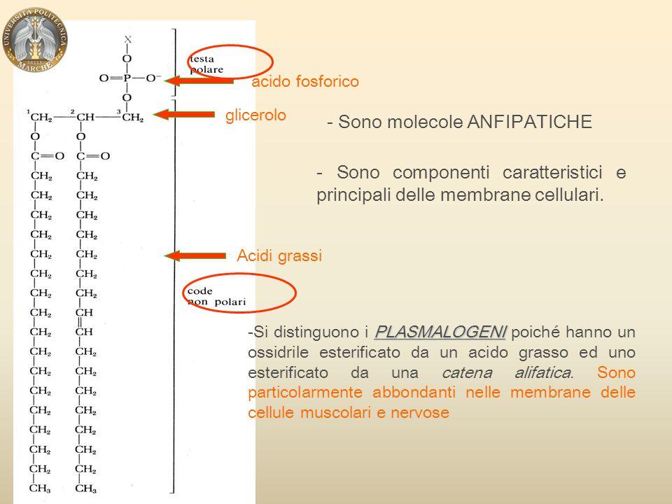 - Sono molecole ANFIPATICHE