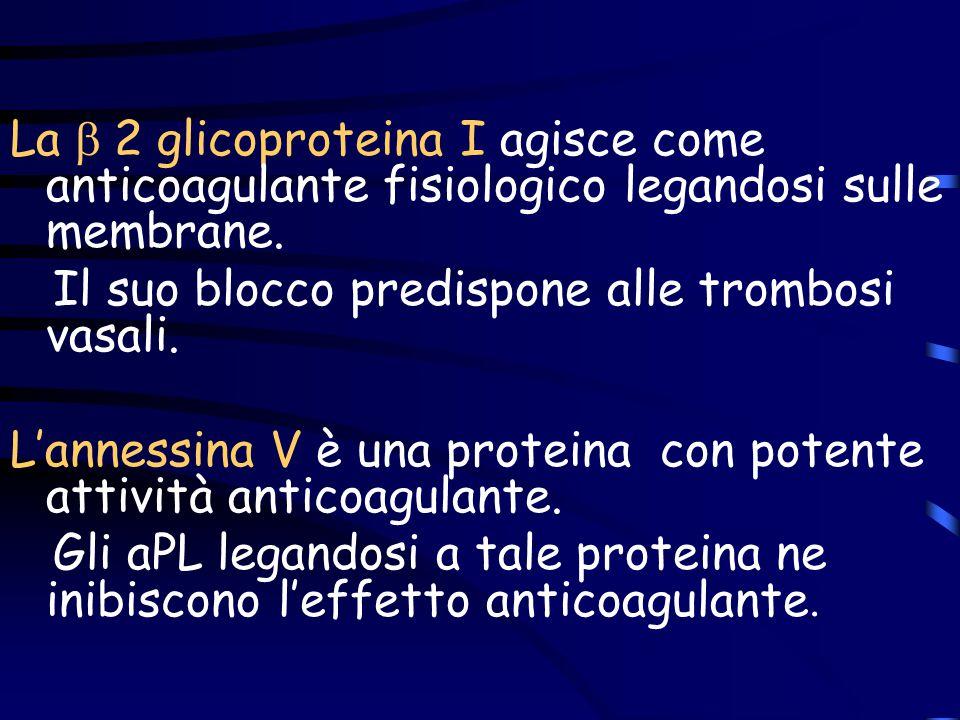 La b 2 glicoproteina I agisce come anticoagulante fisiologico legandosi sulle membrane.