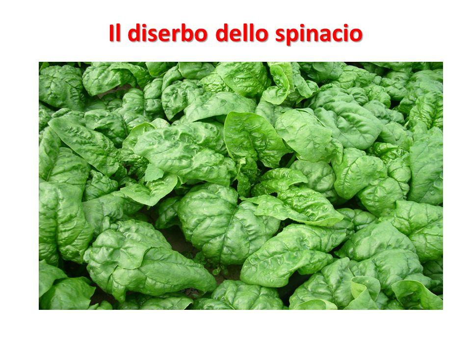 Il diserbo dello spinacio