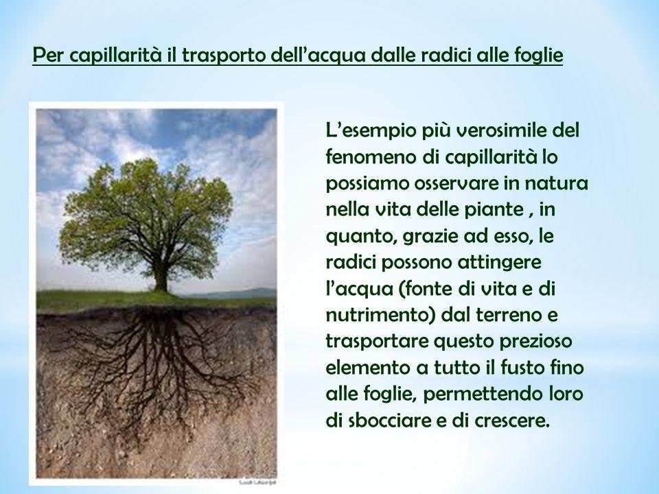 Per capillarità il trasporto dell'acqua dalle radici alle foglie