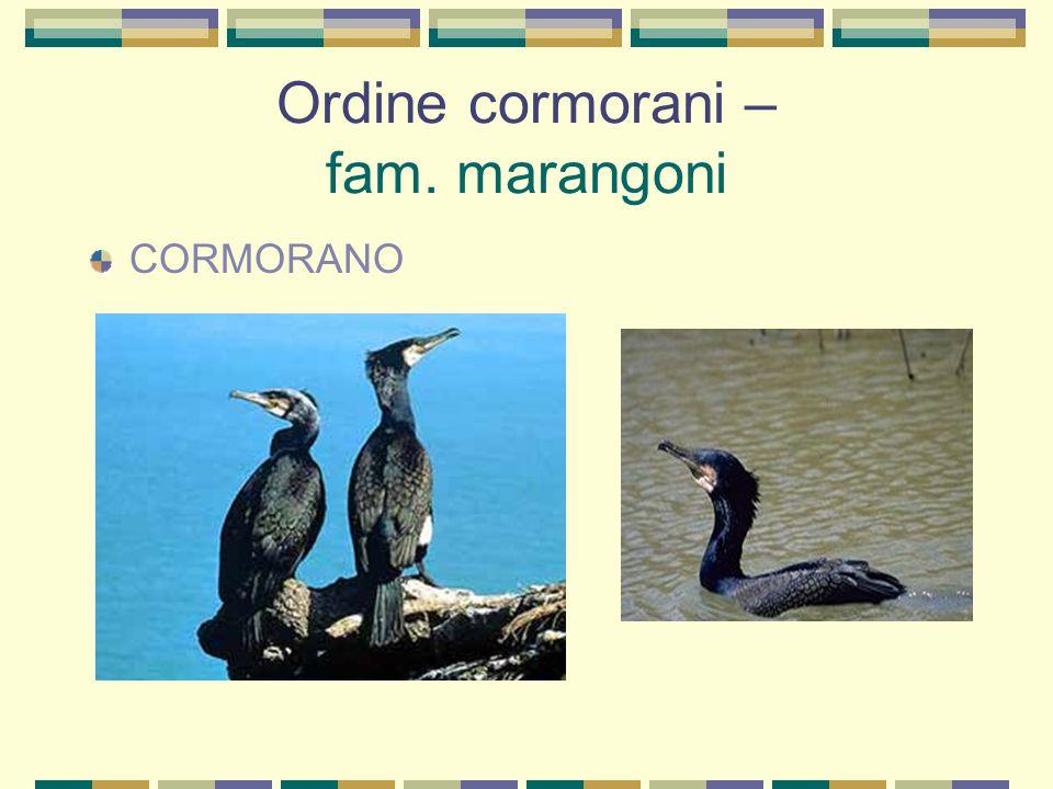 Ordine cormorani – fam. marangoni