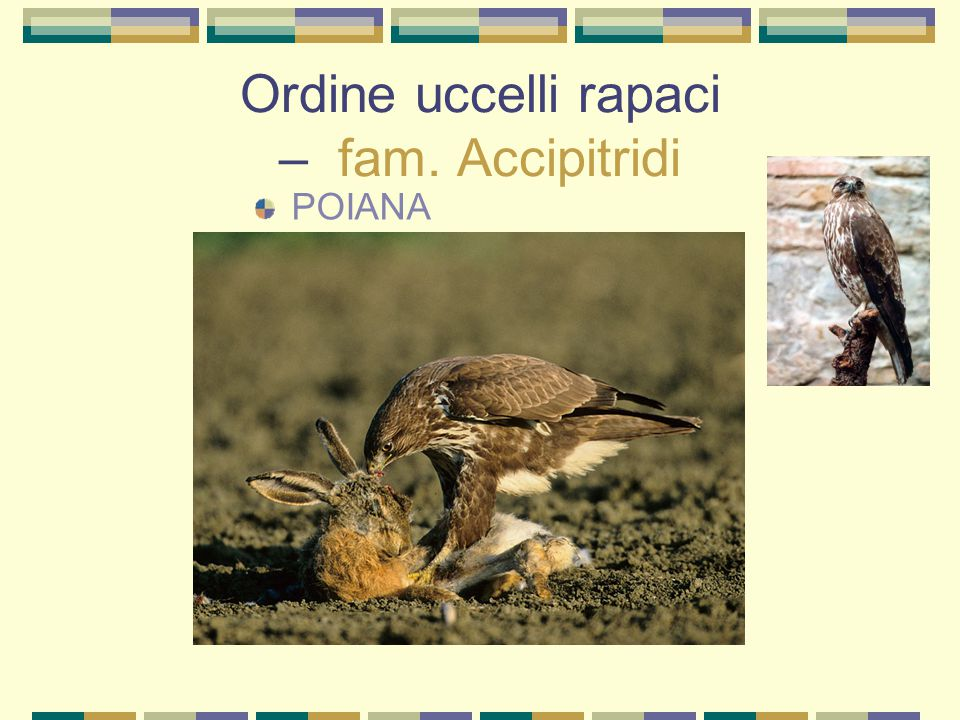 Ordine uccelli rapaci – fam. Accipitridi