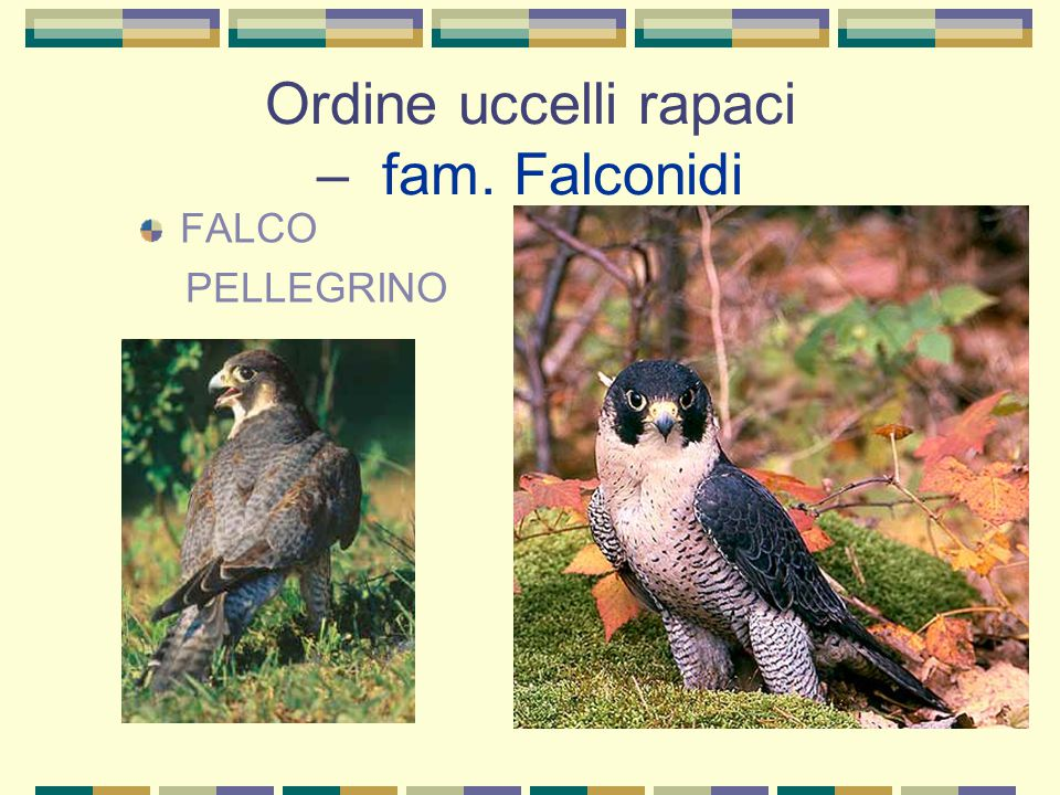Ordine uccelli rapaci – fam. Falconidi