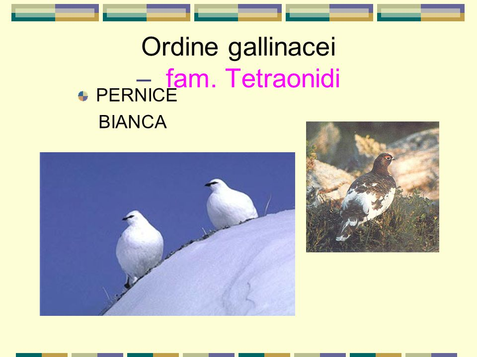 Ordine gallinacei – fam. Tetraonidi