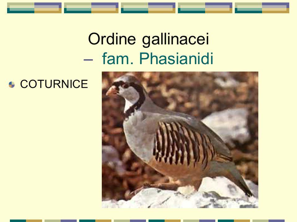 Ordine gallinacei – fam. Phasianidi