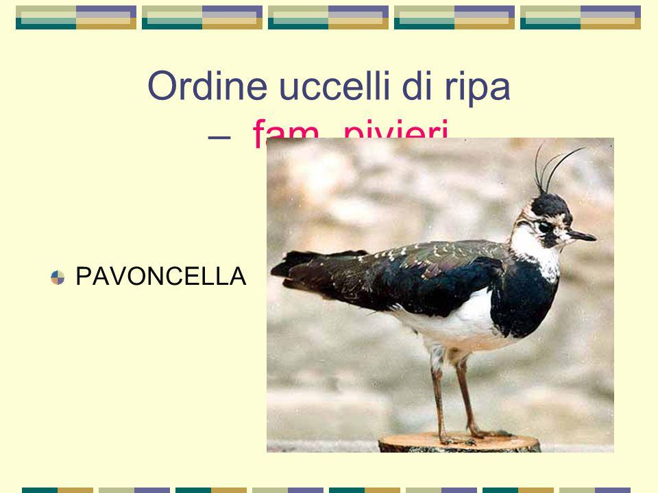 Ordine uccelli di ripa – fam. pivieri