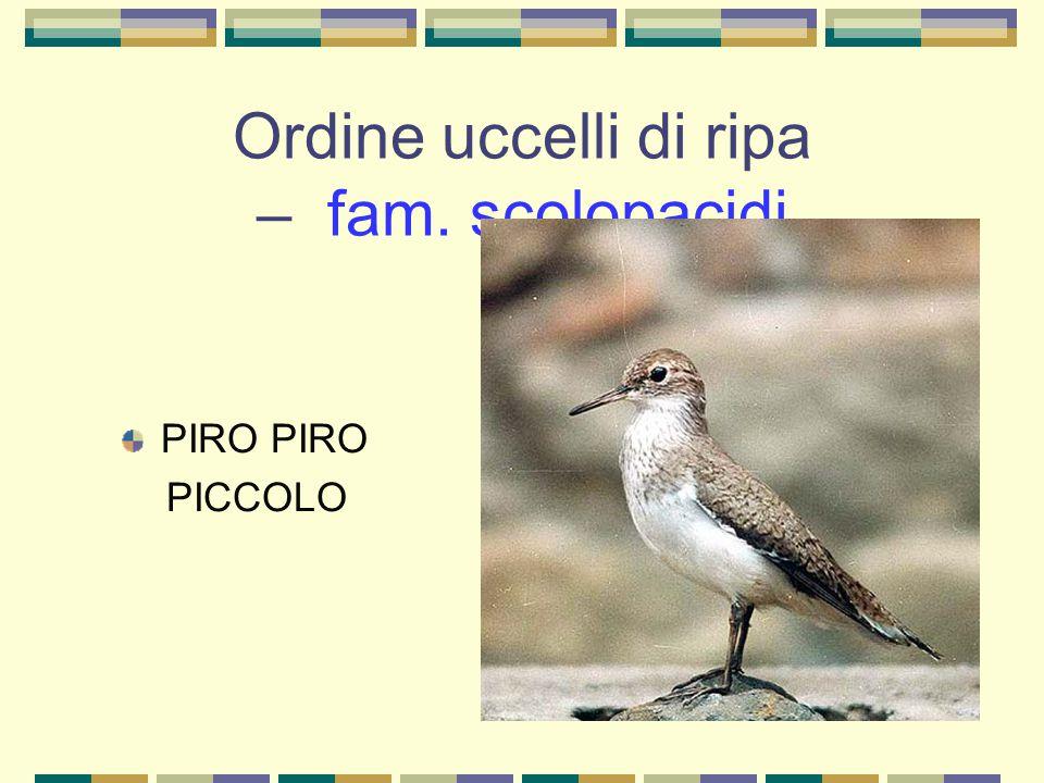 Ordine uccelli di ripa – fam. scolopacidi