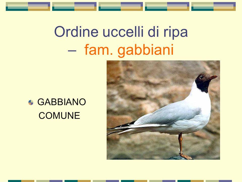 Ordine uccelli di ripa – fam. gabbiani