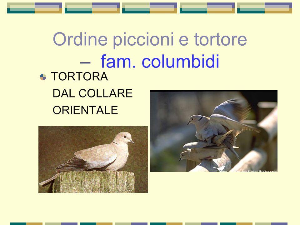 Ordine piccioni e tortore – fam. columbidi