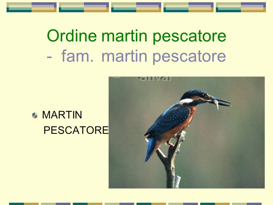 Ordine martin pescatore - fam. martin pescatore
