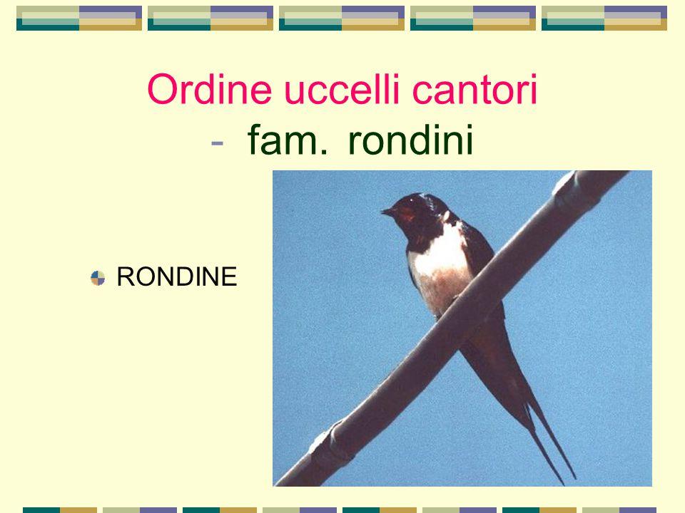 Ordine uccelli cantori - fam. rondini
