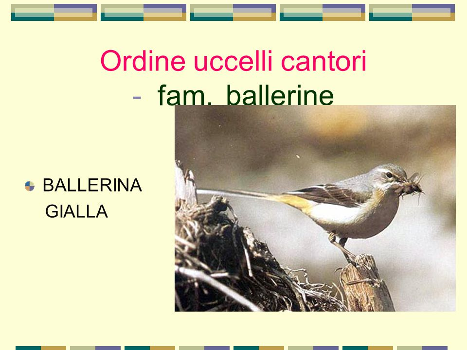 Ordine uccelli cantori - fam. ballerine