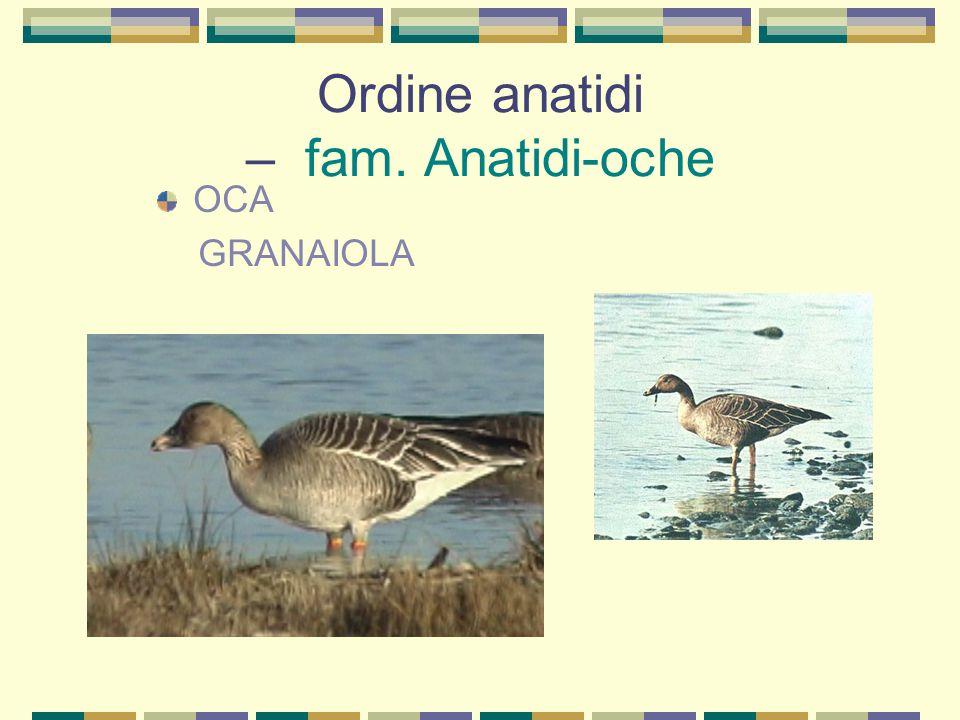 Ordine anatidi – fam. Anatidi-oche