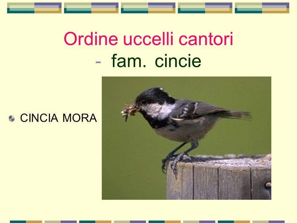 Ordine uccelli cantori - fam. cincie