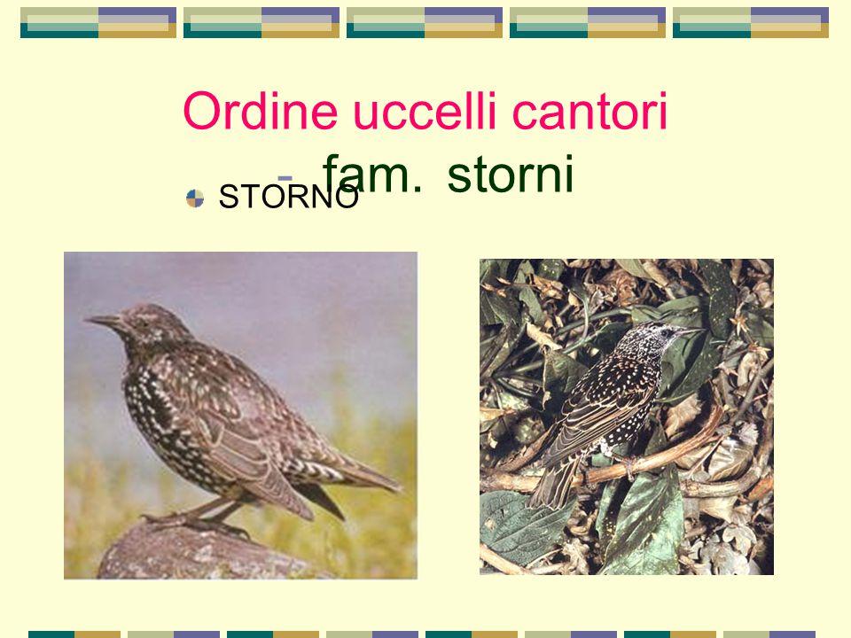 Ordine uccelli cantori - fam. storni