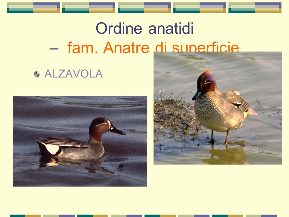 Ordine anatidi – fam. Anatre di superficie