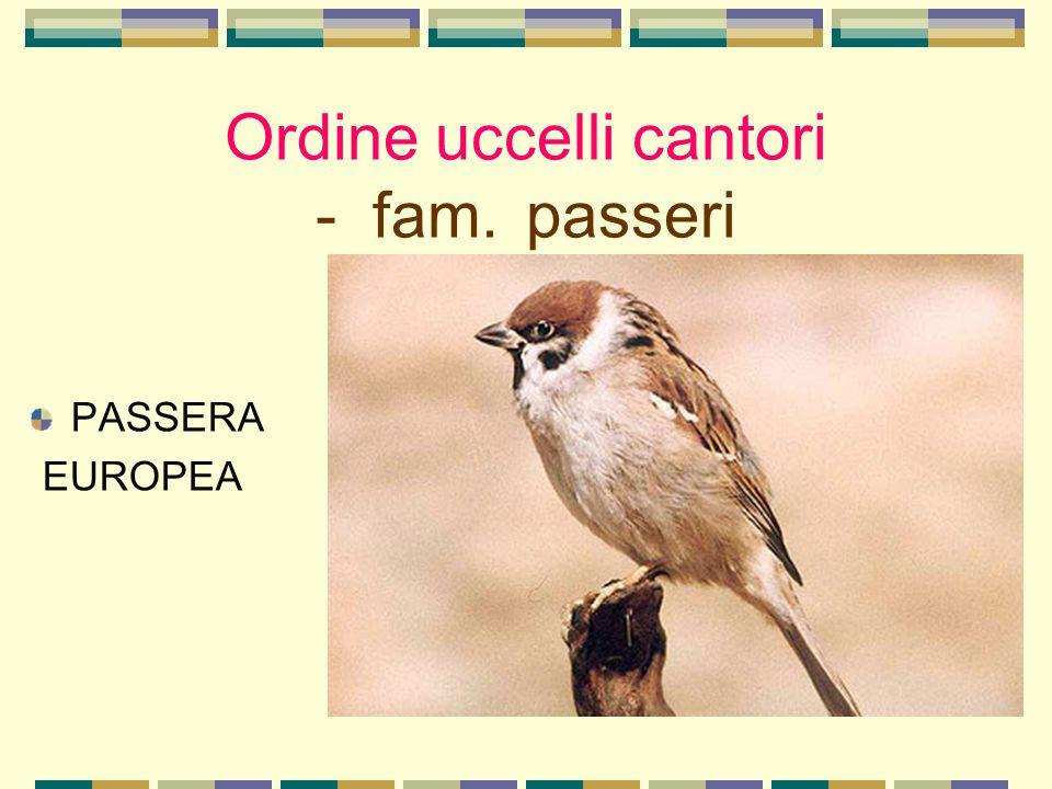 Ordine uccelli cantori - fam. passeri