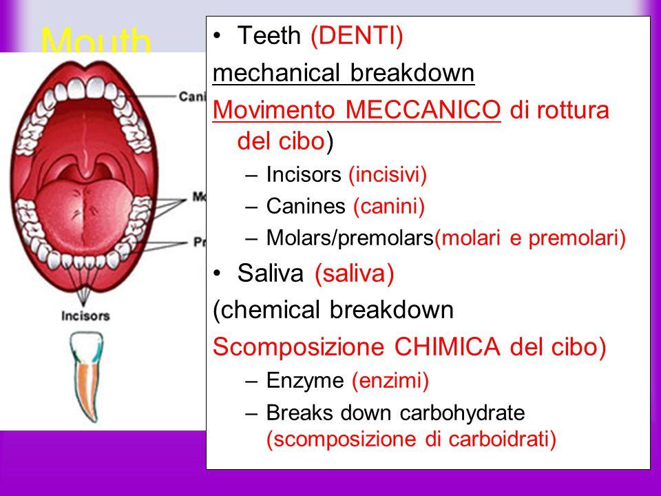 Mouth Teeth (DENTI) mechanical breakdown