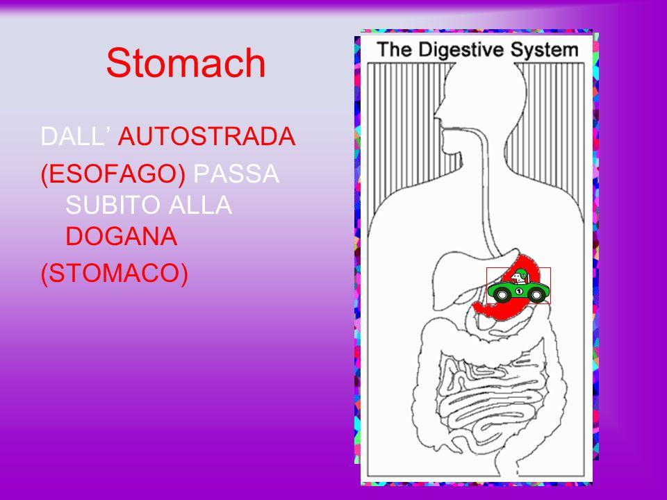 Stomach DALL' AUTOSTRADA (ESOFAGO) PASSA SUBITO ALLA DOGANA (STOMACO)