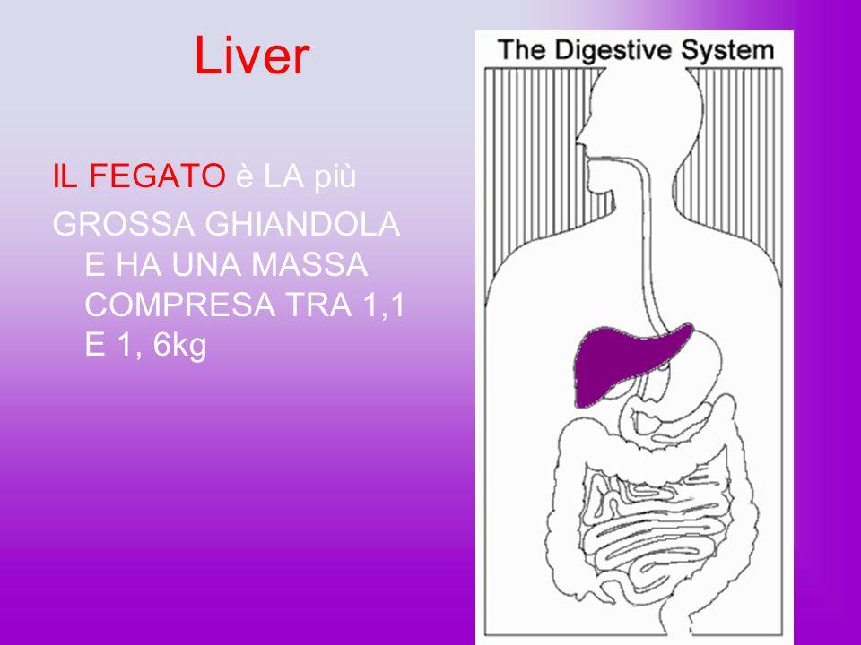 Liver IL FEGATO è LA più. GROSSA GHIANDOLA E HA UNA MASSA COMPRESA TRA 1,1 E 1, 6kg.