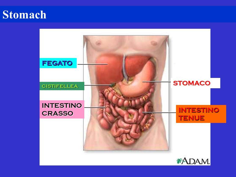 Stomach FEGATO STOMACO CISTIFELLEA INTESTINO CRASSO INTESTINO TENUE