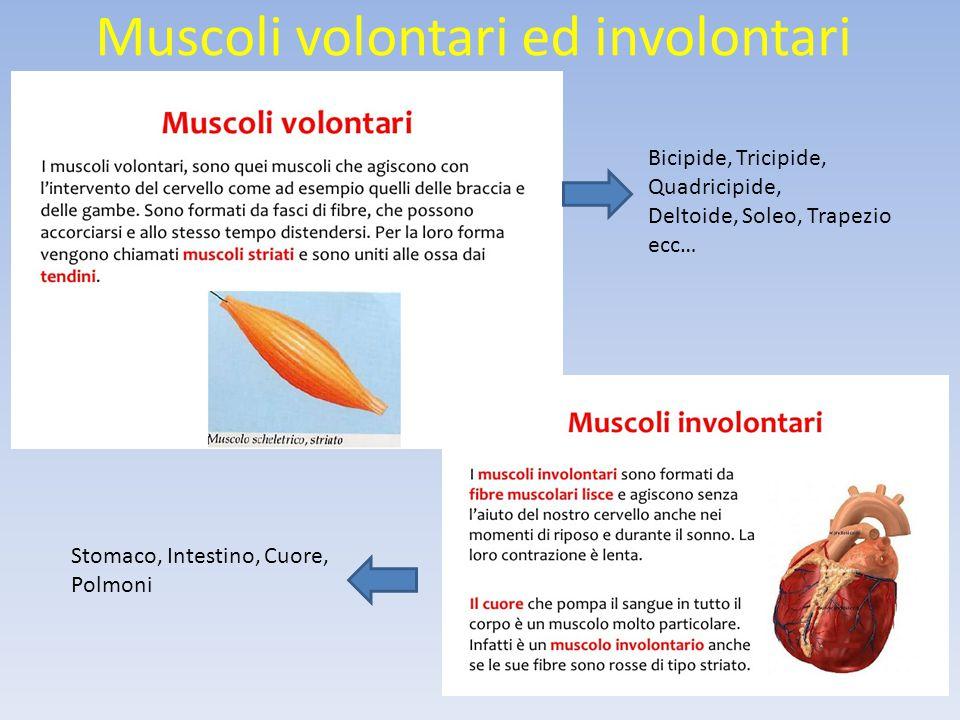 Muscoli volontari ed involontari
