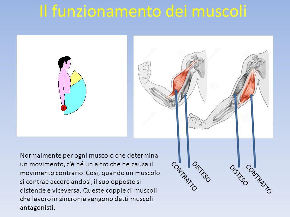 Il funzionamento dei muscoli