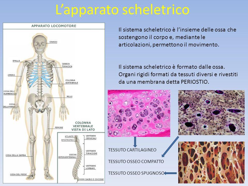 L'apparato scheletrico