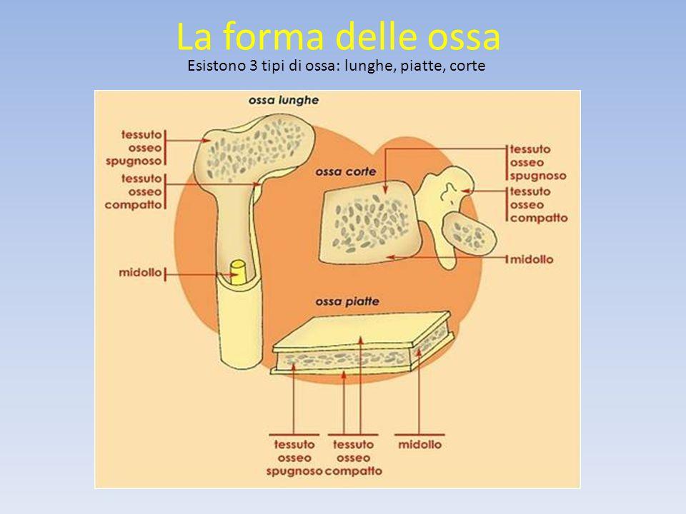 La forma delle ossa Esistono 3 tipi di ossa: lunghe, piatte, corte