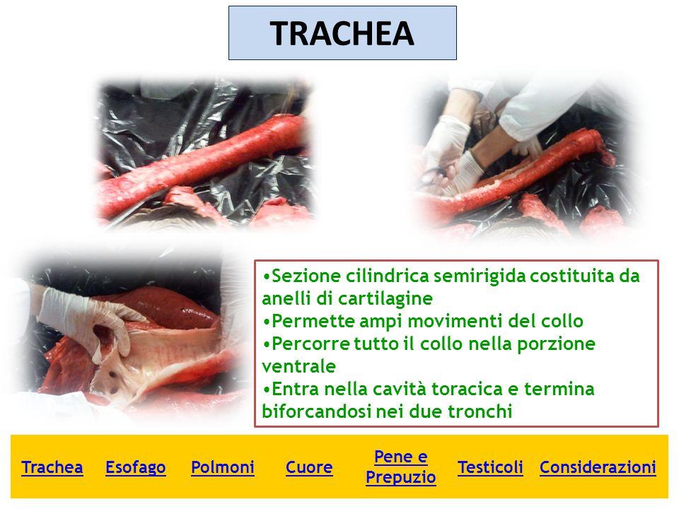 TRACHEA Sezione cilindrica semirigida costituita da anelli di cartilagine. Permette ampi movimenti del collo.