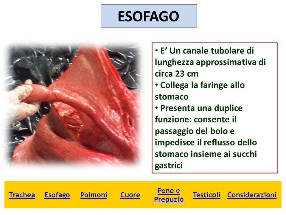ESOFAGO E' Un canale tubolare di lunghezza approssimativa di circa 23 cm. Collega la faringe allo stomaco.
