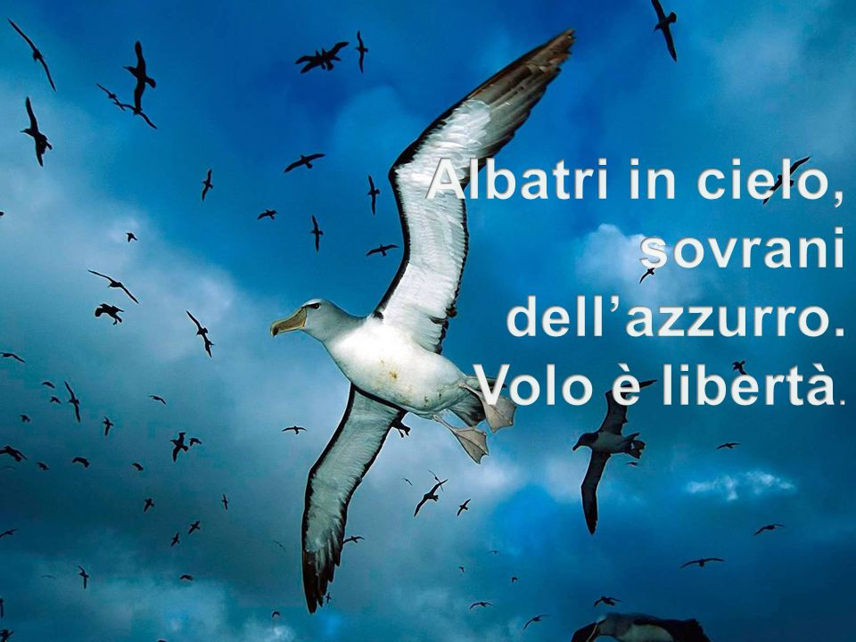 Albatri in cielo, sovrani dell'azzurro. Volo è libertà.